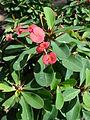 Starr 080117-2088 Euphorbia milii.jpg