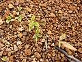 Starr 080209-2664 Achyranthes splendens var. splendens.jpg