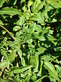 Starr 080219-2951 Jasminum polyanthum.jpg