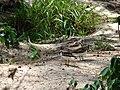 Starr 080610-8396 Euphorbia cyathophora.jpg
