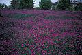 Starr 980602-4412 Lampranthus roseus.jpg