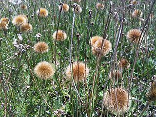 <i>Stenachaenium</i> genus of plants