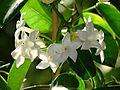 Stephanotis floribunda variegata 41.JPG