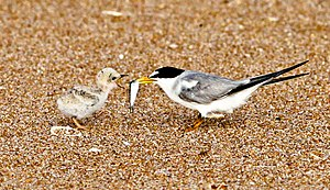 Least tern - Parent feeding a small chick in Florida, USA