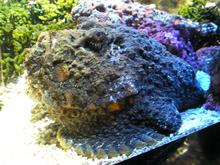 Peix pedra - Viquipedia, lenciclopedia lliure
