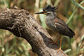 Striated Heron-001.jpg