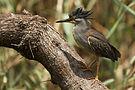 Striated Heron-001.jpg