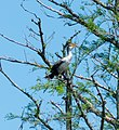 Stumpy Lake White Breasted Cormorant (257648491).jpeg