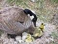 Successful Nesting (12437391124).jpg