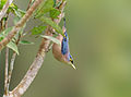 Sulfur-billed Nuthatch crop.jpg