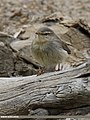Sulphur-bellied Warbler (Phylloscopus griseolus) (29914374016).jpg