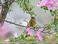 Sulphur-bellied Warbler (Phylloscopus griseolus) (35498264884).jpg