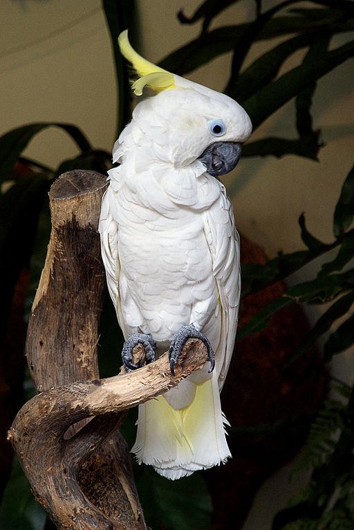 Sulphur-crested Cockatoo (Cacatua (Cacatua) sulphurea)