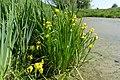 Sumpf-Schwertlilien an der Ehle bei Gerwisch.jpg