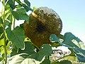 Sunflower Seedhead.jpg