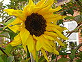 Sunflower solros.JPG