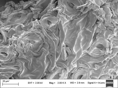 Surface of Green Tea Leaf.tif