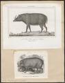 Sus babirussa - 1700-1880 - Print - Iconographia Zoologica - Special Collections University of Amsterdam - UBA01 IZ21900195.tif