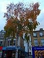 Sutton High Street trees (9).jpg