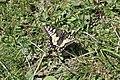 Swallowtail - Papilio machaon (14217930882).jpg
