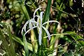 Swamp Lily, NPSPhoto, R. Cammauf (9099855617).jpg
