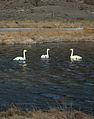 Swans near Núpsstaður.jpg