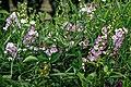 Sweet pea Lathyrus odoratus at Easton Lodge Gardens, Little Easton, Essex, England 1.jpg