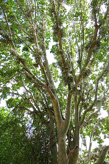 Sycomore Fig Tree (Ficus sycomorus) (16707986040).jpg