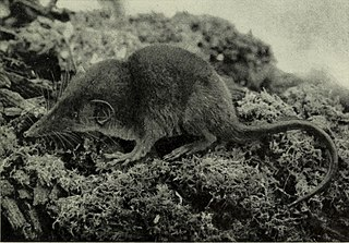 Lesser forest shrew species of mammal