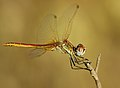 Sympetrum fonscolombei - Líbel·lula - Dragonfly (3966770758).jpg
