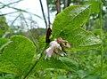 Symphoricarpos albus var. laevigatus 1.jpg