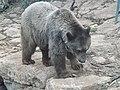 Syrian brown bear hybrid 07.jpg