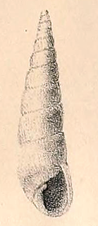 <i>Styloptygma</i> genus of molluscs