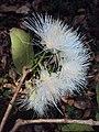 Syzygium mundagam 13.JPG