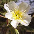 T20080705B-24--Oenothera deltoides ssp howellii—RPBG (9098438208).jpg