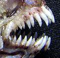 Tanche-tautogue-dents.jpg
