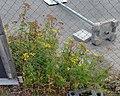 Tansy (Tanacetum vulgare) - Oslo, Norway 2020-09-16.jpg