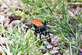 Tarantula Hawk - Cave Creek Ranch - Portal - AZ - 2015-07-14at11-08-232 (20123962384).jpg