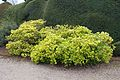 Tatton Park 2015 27 - Skimmia.jpg