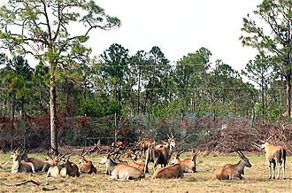 Common eland - Common elands resting in herds.