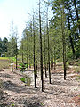 Taxodium distichum2.jpg