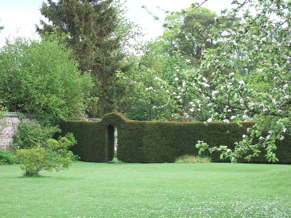 Taxus baccata, yew, as internal hedge at Down House