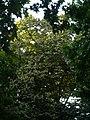 Tell argentat del passeig de la Bonanova P1510534.jpg