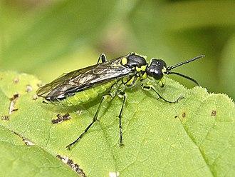 Tenthredo mesomela - Image: Tenthredinidae Tenthredo (Eurogaster) mesomela