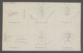 Tetracampe - Print - Iconographia Zoologica - Special Collections University of Amsterdam - UBAINV0274 046 11 0013.tif