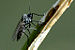 Fungus Gnats - Photo (c) James K. Lindsey, some rights reserved (CC BY-SA)