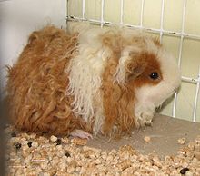 List of guinea pig breeds wikipedia texel guinea pig sciox Gallery