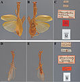 The-type-material-of-Mantodea-(praying-mantises)-deposited-in-the-National-Museum-of-Natural-zookeys-433-031-g015.jpg