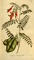 The Botanical Magazine, Plate 181 (Volume 6, 1793).png