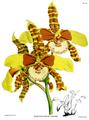 The Orchid Album-02-0096-0079-Dontoglossum grande.png